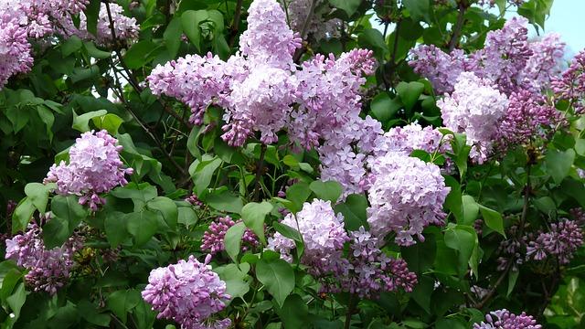 Lilac lack for Lindsay's Logie Street Park, for now
