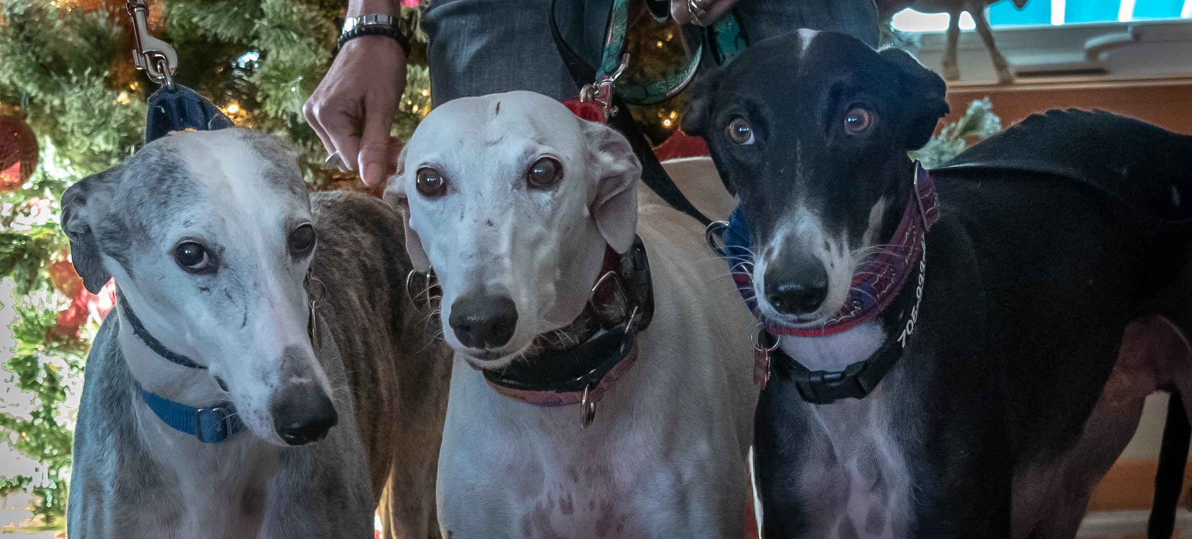 Fundraiser In Bobcaygeon For National Galgo Adoption Lindsay Advocate